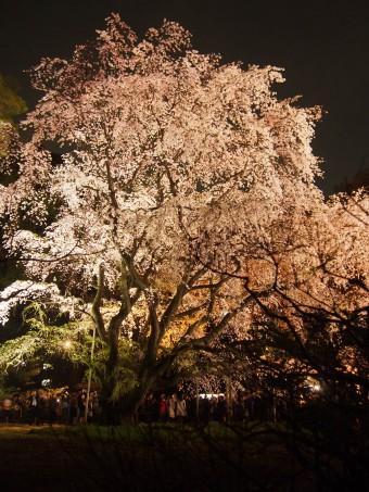 Sakura in Rikugien