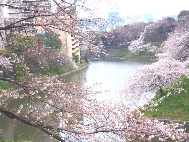 Cherry Blosssom in Chidorigafuchi