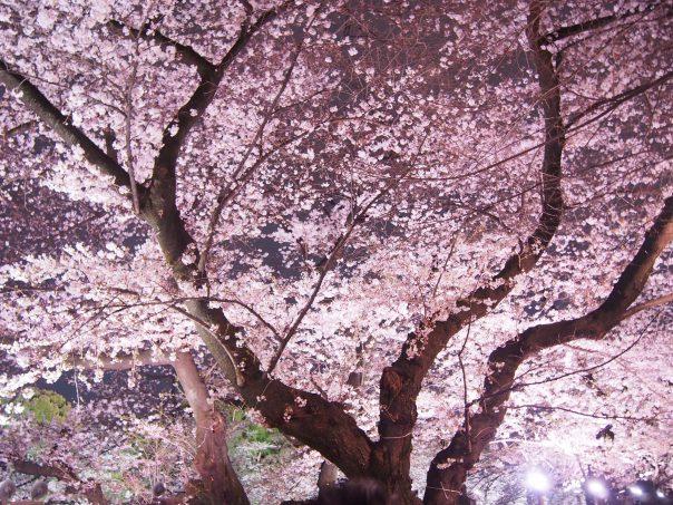 Cherry Blossom in Chidorigafuchi