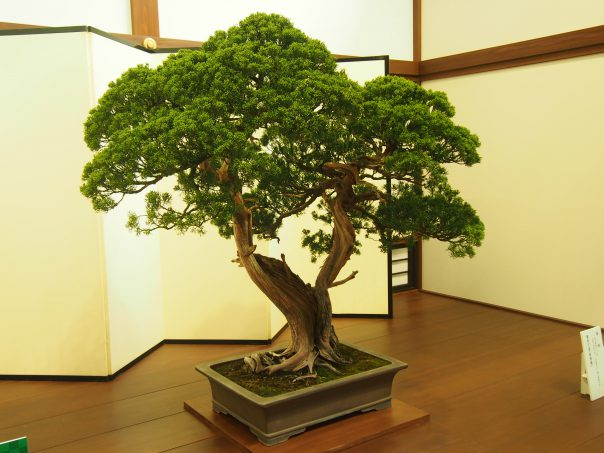 Bonsai of the Imperial Palace