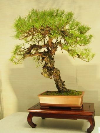 Akamatsu or Japanese Red Pine