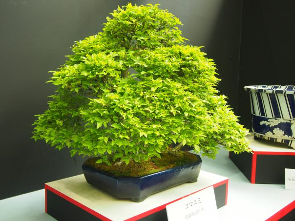 Japanese Spindle Tree