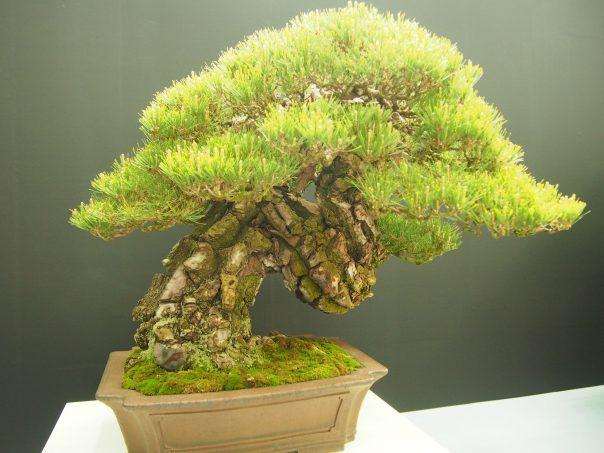 Japanese Red Pine (Akamatsu)