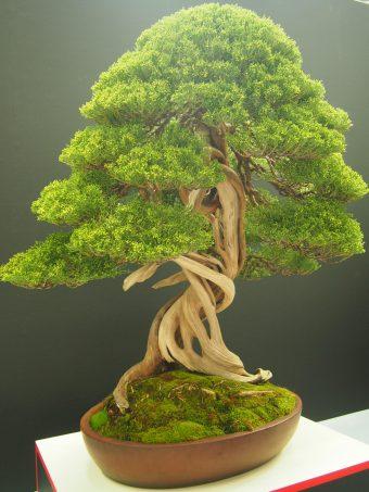 Shinpaku Juniper