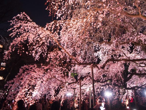 Cherry Blossom in Rikugien