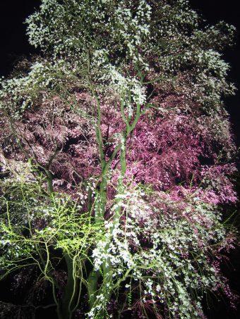 Weeping Cherry Tree in Rikugien