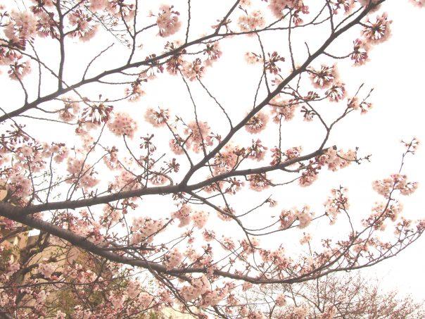 Cherry Blossom of Asakusa and Sumida River