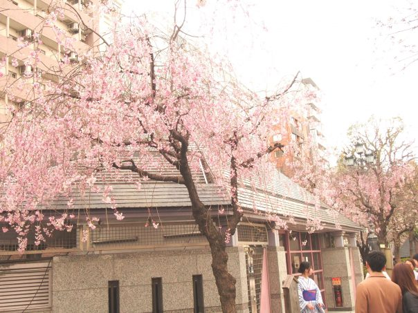 Weeping Cherry Tree of Asakusa and Sumida River