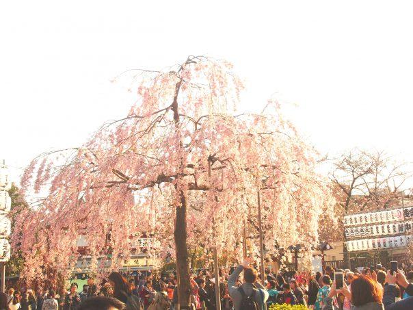 Cherry Blossom in Senso-ji Temple