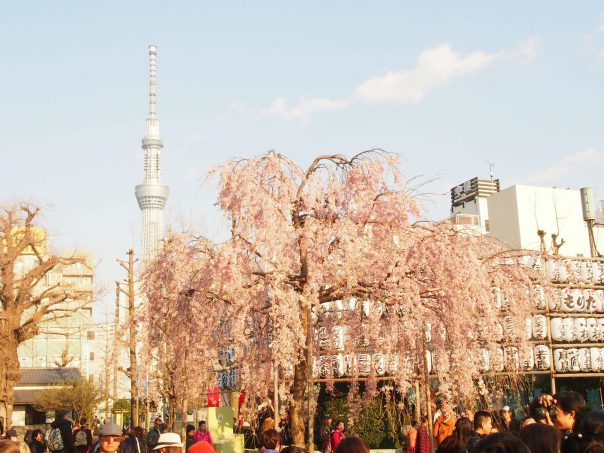 Cherry Blossom with Sky Tree in the background