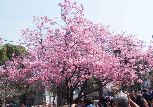 Cherry Blossom in Ueno Park