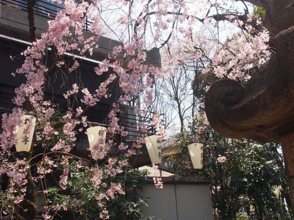 Weeping Sakura Tree in front of Restaurant