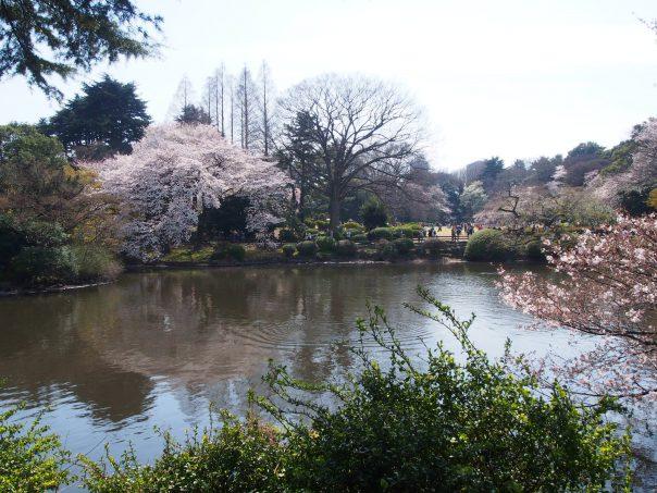 Cherry Blossom with a Pond