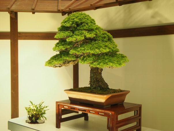 Five Needle Pine (Zuisyou)