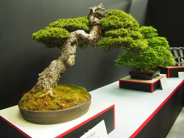 Ezo Pine