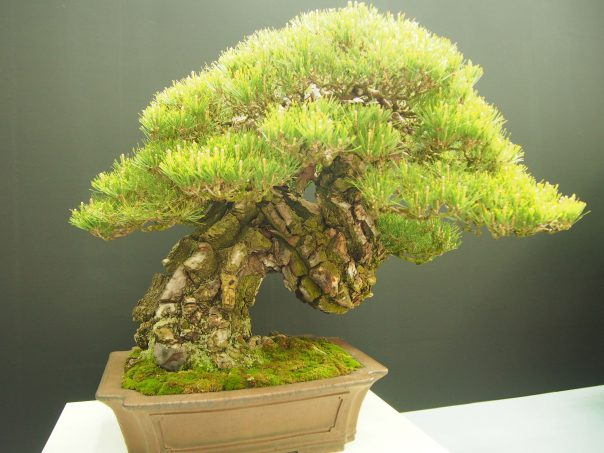 Japanese Red Pine (Akamatsu)
