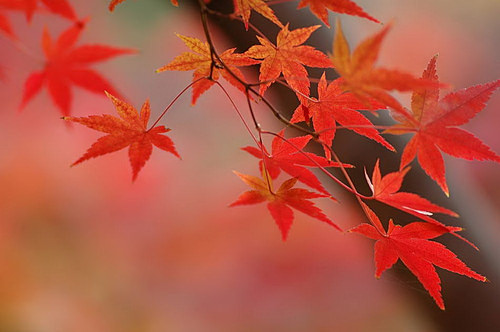 Foliage of Japanese Maple