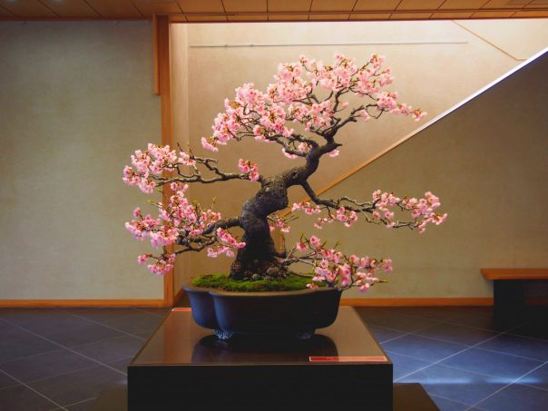 Sakura Bonsai Of Omiya Bonsai Art Museum Joined Gallery Talk Tour Too Hiro8 Japanese Culture Bloghiro8 Japanese Culture Blog
