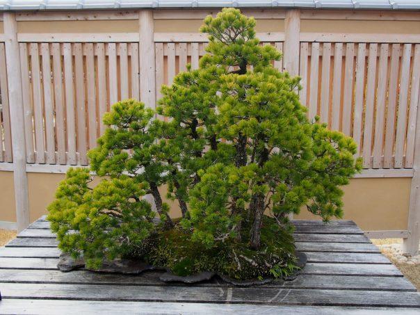 Japanese Five Needle Pine (Goyo-matsu)