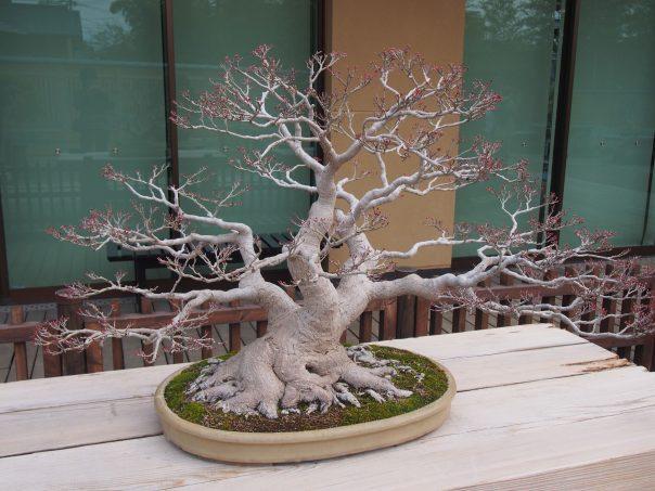 Acer Spicatum (Yama-momiji)