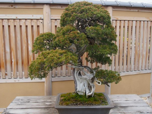Sakura Bonsai Of Omiya Bonsai Art Museum Joined Gallery Talk Tour